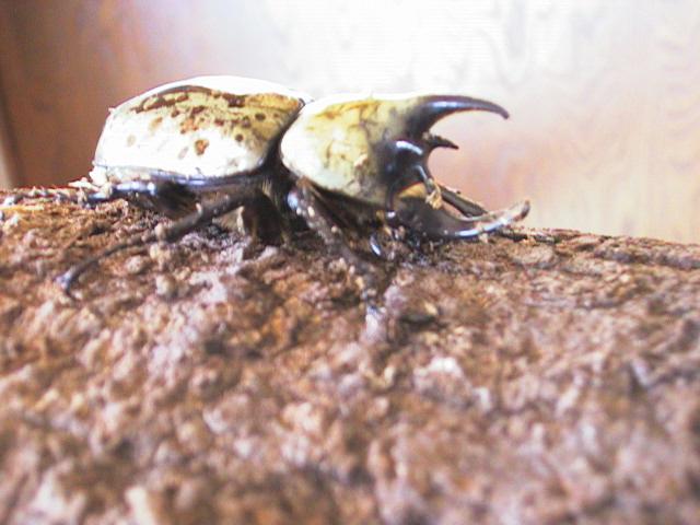 The Eastern Rhinoceros (or Unicorn) Beetle, Dynastes tityus