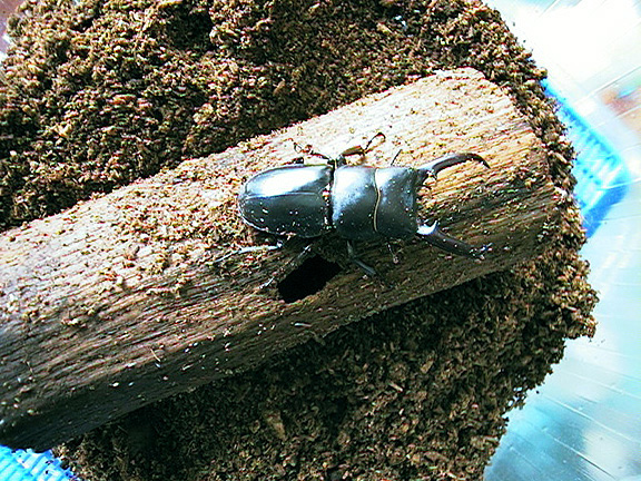 Dorcus titanus, an Asian stag beetle