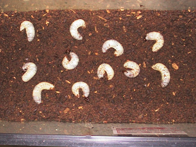 Grubs in rearing tank
